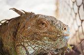 Iguana Lizard, Focus At Eyes