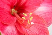 Royal Red Amaryllis
