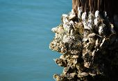 Barnacles  on a Piling