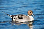 stock photo of pintail  - Northern Pintail Duck, Male drake, swimming in water