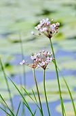 image of marsh grass  - Butomus umbellatus flowers on a background of water and grass - JPG