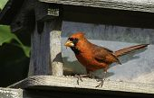 pic of cardinal  - Male northern cardinal sitting on feeder during springtime - JPG