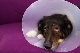 image of castration  - Dog with eye injury lying on a couch - JPG