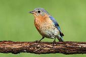 Female Eastern Bluebird
