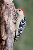 Woodpecker On A Log