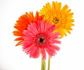 Gerbera Flower Isolated On Whitebackground