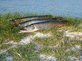 Fish pike