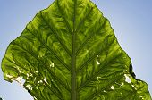 large green leaf in backlight