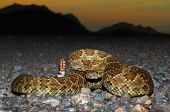 stock photo of coiled  - Mojave Rattlesnake (Crotalus scutulatus) coiled to strike with the setting sun in the background. The Mojave Rattlesnake is considered by many to be the most deadly snake in the United States.