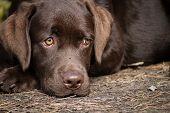 Lonely labrador puppy