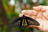 Common Golden Bird-wing Butterfly Hanging On Hand