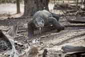 image of komodo dragon  - Komodo Dragon walking in the wild on Komodo Island - JPG