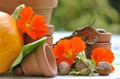 image of nasturtium  - nasturtium flowers among fruits and vegetables fall and terracotta pots - JPG