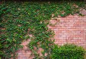 picture of ivy vine  - Brick wall with ivy plant background vintage - JPG