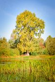 The Big Autumn Poplar
