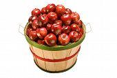 Apples Filling Bushel Basket