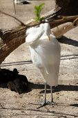 A Great Egret In Summer