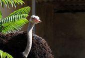 Afriscan Ostrich