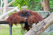 Old Orangutan Is Sitting On The Table