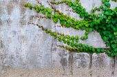 picture of climber plant  - Green plant climbing on old grunge wall  - JPG