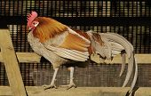 Domestic Chicken Cockerel in shelter poster