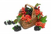 stock photo of chokeberry  - basket with berries of black chokeberry and viburnum on a white background close - JPG