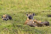 stock photo of hyenas  - Hyena with young cubs in Maasai Mara - JPG