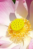 Close Up Of Pink Water Lily, Nelumbo Nucifera.