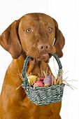 picture of easter basket eggs  - dog holding Easter basket with eggs isolated on white background - JPG