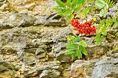 Bush Of A Red Mountain Ash On The Stone Rock