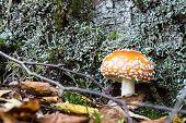 Big Mushroom A Fly Agaric Grows In The Wood