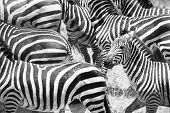Close up of running zebras in Africa