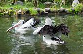 Two Pelicans Floating On Water Of A Pond