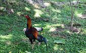 Asian Chicken Standing On The Grass