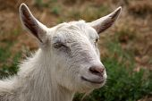 Portrait Of A Young White Hornless Goat