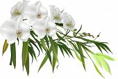 illustration with green bamboo branch and orchid flowers isolated on white background