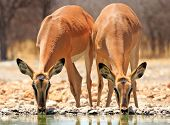 2 Black faced Impala at waterhole
