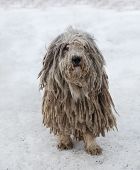 Puli dog with pasta in winter