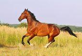pic of bay horse  - Bay horse running at field in summer  - JPG