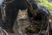 European Wild Cat (felis Silvestris)