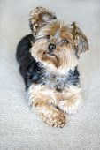 Cute little yorkshire terrier with floppy ear