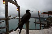 Frigate Bird, Ecuador, Galapagos, Santa Cruz, Puerto Ayora