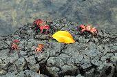 stock photo of crab  - Sally Lightfoot Crab ore Red cliff crab from Galapagos Islands Ecuador - JPG