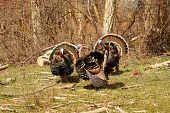 Three Wild Turkeys 1