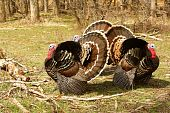 Three Wild Turkeys 2
