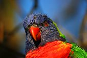 stock photo of lorikeets  - A close - JPG