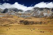 Cattle in Cordiliera Huayhuash, Peru, South America