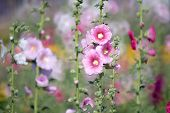 picture of hollyhock  - Hollyhock flower in the nature of garden - JPG