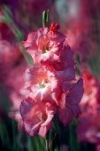 picture of gladiolus  - colourful of Gladiolus flower in the garden - JPG