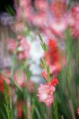 stock photo of gladiolus  - colourful of Gladiolus flower in the garden - JPG
